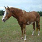 retirement-home-horses-sponsor-holly