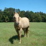 retirement-home-horses-goldie